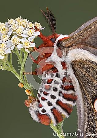 Egg laying cecropia moth