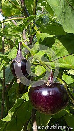 Free Eggplant Royalty Free Stock Image - 10632596