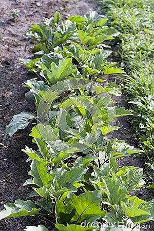 Eggplant (Solanum melongena)