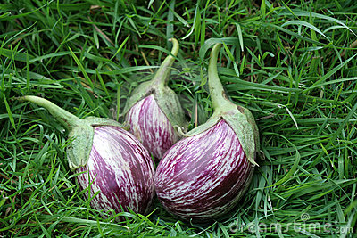 Eggplants on the grass