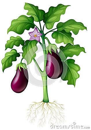 Free Eggplants On The Tree Stock Image - 63433901