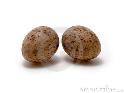 Eggs la mésange grande de s