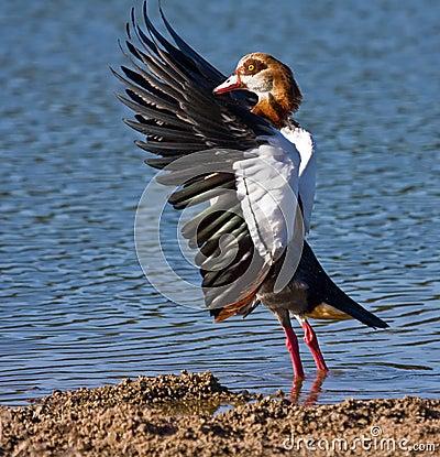 Egiptian Goose