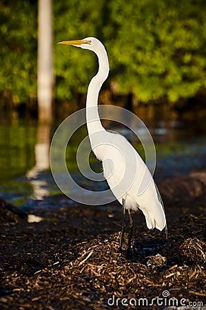 Egret большой