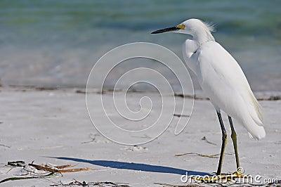 Egret снежный