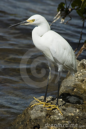 Free Egret Stock Photography - 267652