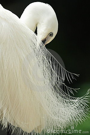 Free Egret Royalty Free Stock Images - 4682689