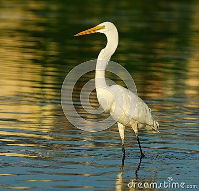 Free Egret Stock Photography - 5987512