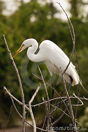 Free Egret Stock Photography - 837142