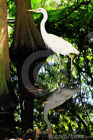 Free Egret And Reflection Royalty Free Stock Image - 20606786