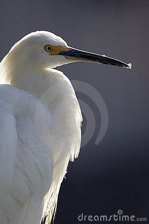 Free Egret Back Light Royalty Free Stock Image - 1826316