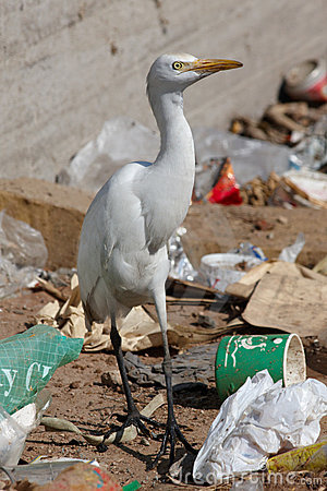 Egret bird on the landfill