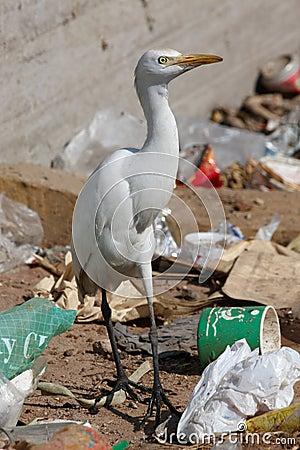 Free Egret Bird On The Landfill Stock Photo - 5239320