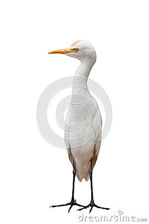 Egret Bird Standing