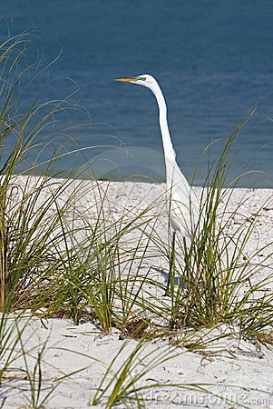 преследовать egret casmerodius albus большой