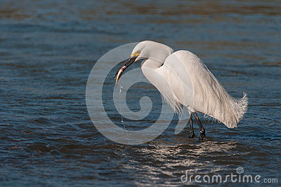 Egret with the catch