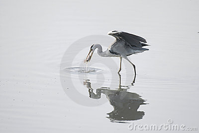 Egret catch a fish