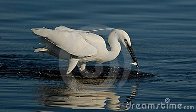 Egret catching a fish