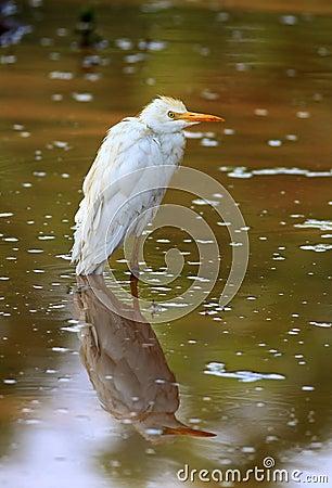 Egret con la reflexión