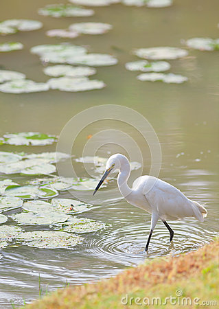 Egret (Egretta garzetta) bird walking