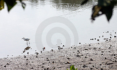 Egret feeding in mangrove nature reserve