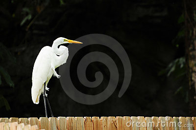 Egret on a Fence