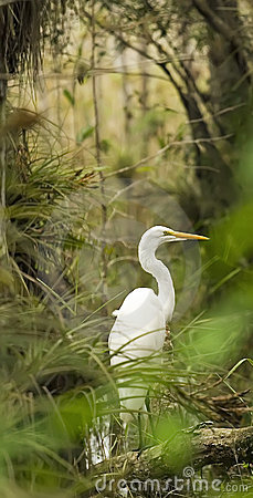 Free Egret In The Everglades Stock Image - 3759341
