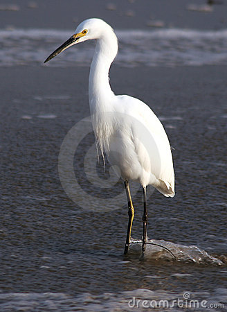 Free Egret In The Stream Royalty Free Stock Photos - 63498