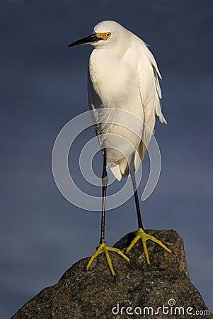 Egret nevado na rocha