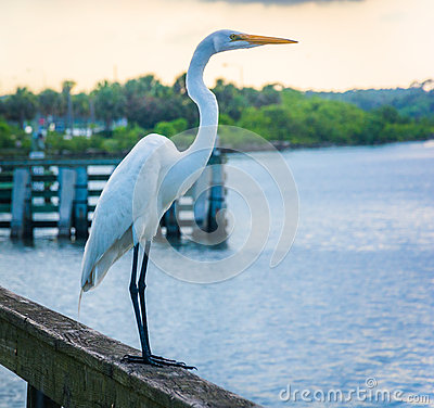 Free Egret On A Fishing Pier In Miami, Florida. Royalty Free Stock Image - 47716336