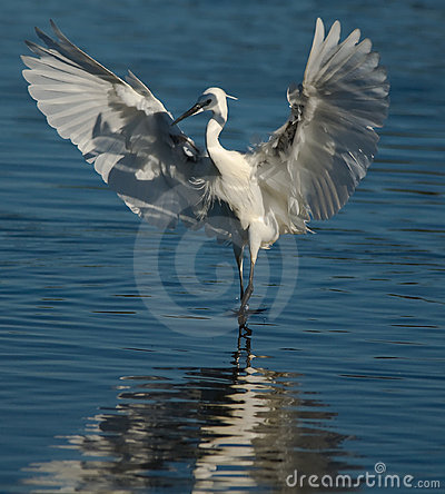 Free Egret On Water Royalty Free Stock Photography - 6789337