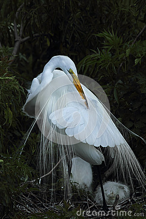Free Egret Preening In Nest, Florida. Royalty Free Stock Images - 52679159