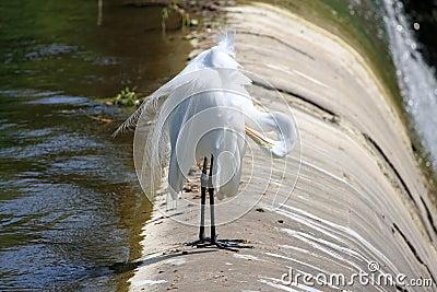 Egret resting