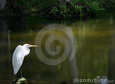 Egret solitario