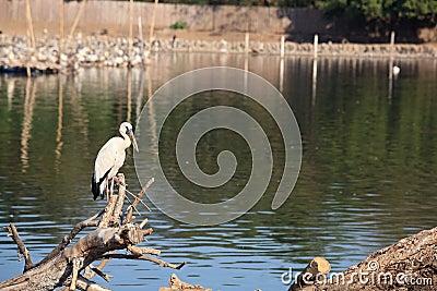 Egret standing on twig