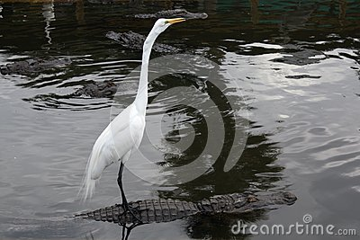 Egret takes a ride