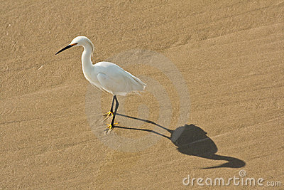 Egret at Venice Beach
