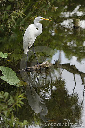 Free Egret With Reflection Stock Photography - 931662