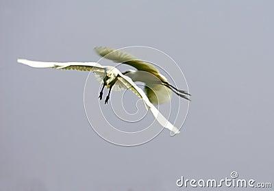 Egrets Bumping