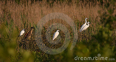 Egrets and herons in warm sunset light