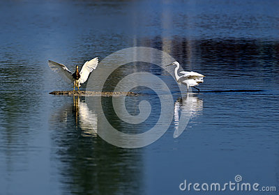 Egrets and Wetland