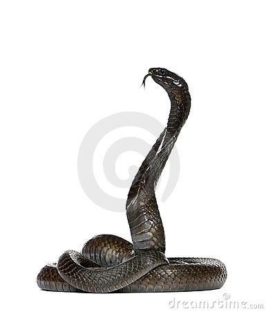Egyptian cobra - Naja haje