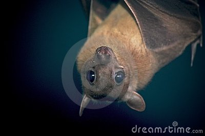 An Egyptian Fruit Bat