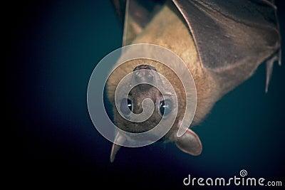 An Egyptian Fruit Bat