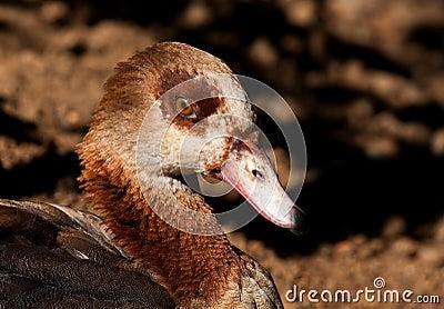 Egyptian Goose closeup