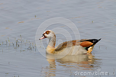 Egyptian goose in dam in Kruger National Park