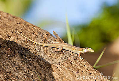 Egyptian lizard on a tree