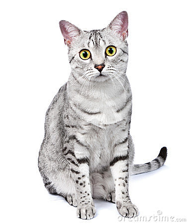 An Egyptian Mau Cat Looks Directly at Camera