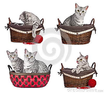 Egyptian Mau cats in Baskets