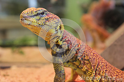 Egyptian spiny-tailed lizard (Uromastyx aegyptia)